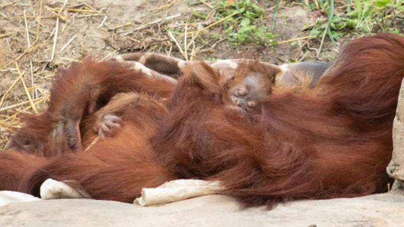 The  new arrival is the first offspring for the Zoo's 12-year-old orangutan Reese and was the...