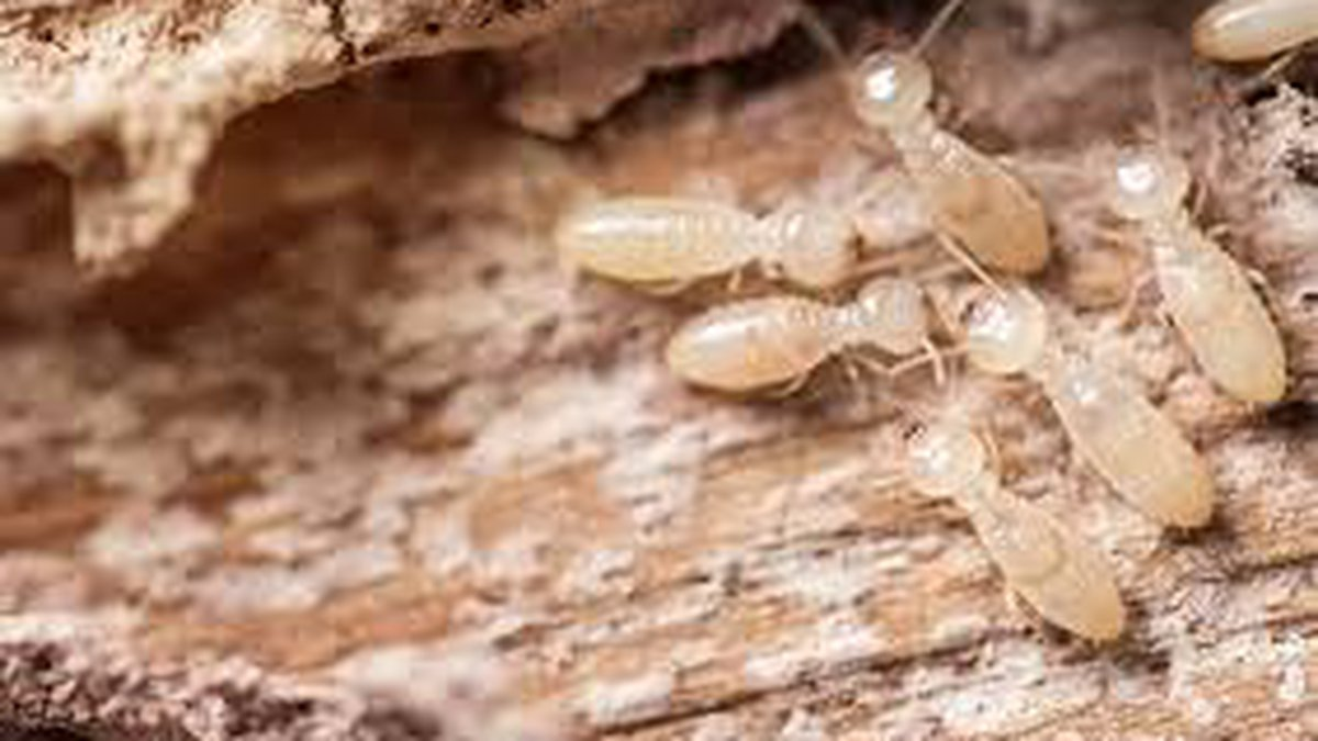 Swarms of termites are a common scene in the area; and the presence of those and other bugs is...