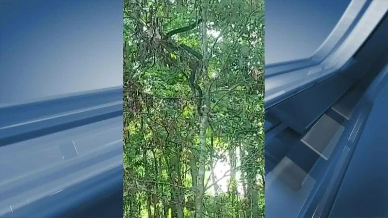 Kaleb Deaton, a crawfish farmer in Jeff Davis Parish, took video of a huge snake in the Fenton...