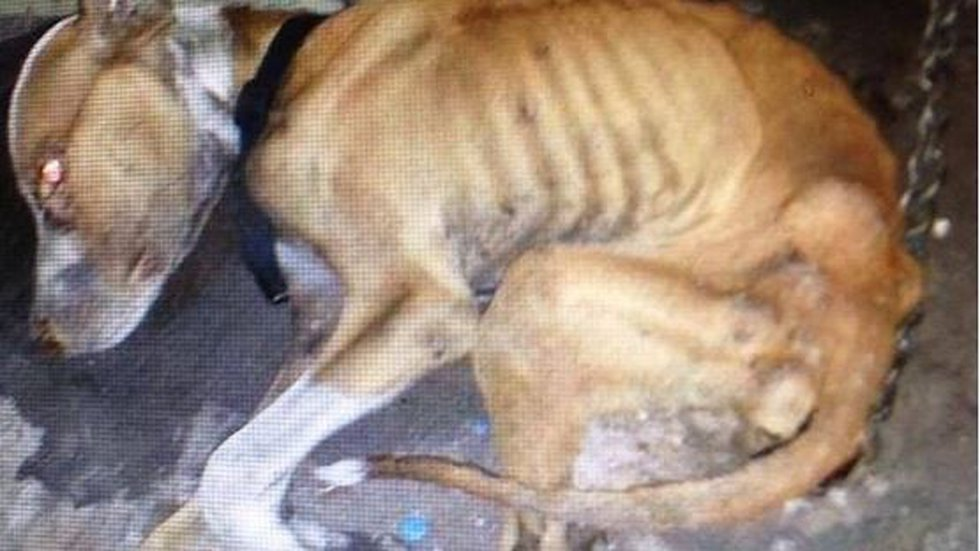 Braveheart was found emaciated and chained up inside a Shreveport storage facility in September...