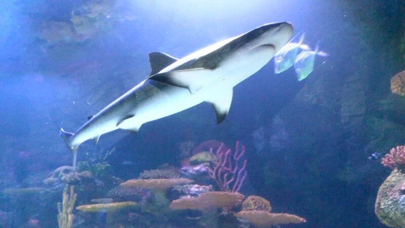 Shark Week 2021 splashes down at the Shreveport Aquarium starting July 12.