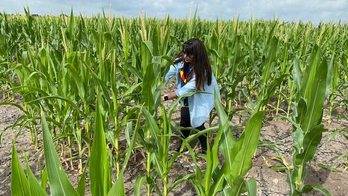 Volunteers are needed to help pick corn to be donated to the Harvest Regional Food Bank.