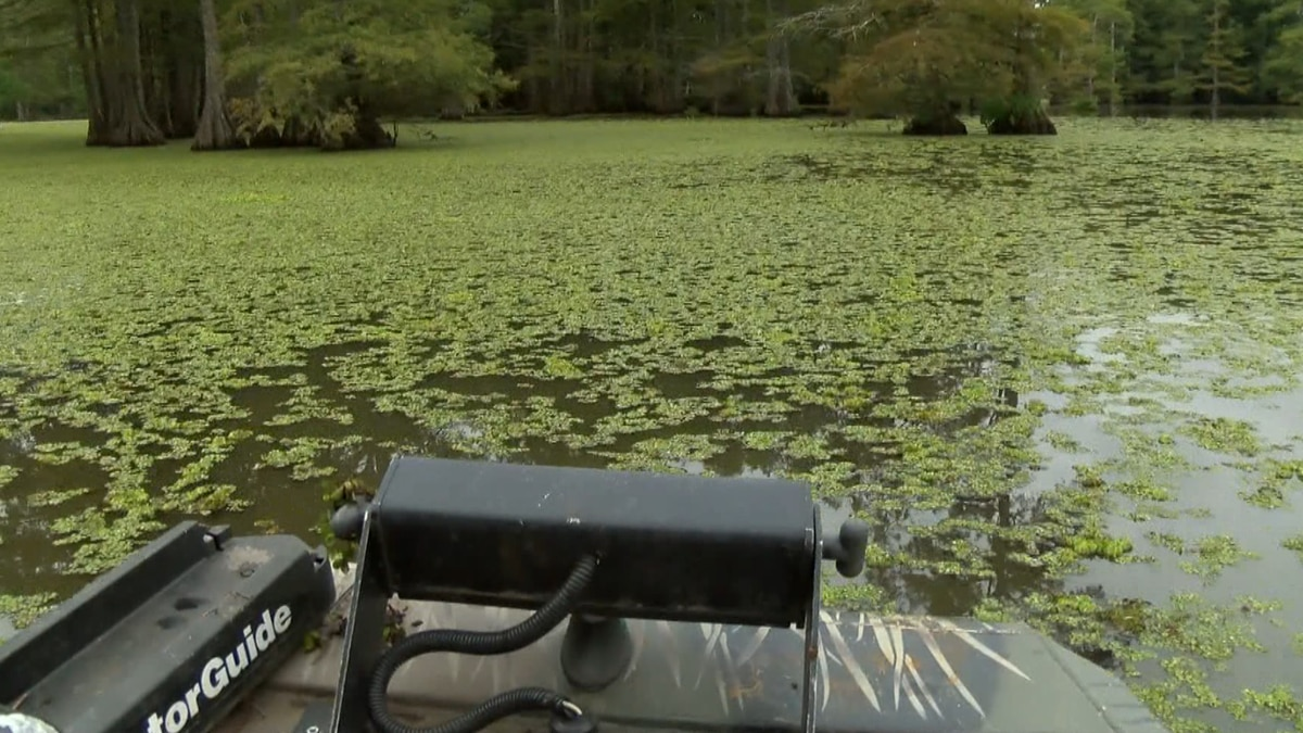 This year's drawdown is underway at lake Bistineau to once again fight off the invasion of...