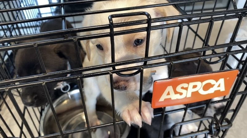 60 puppies & dogs will head to New York to meet their new families with the help of Northshore...